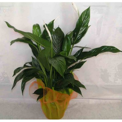 Send Flowers and Plants Patra 24