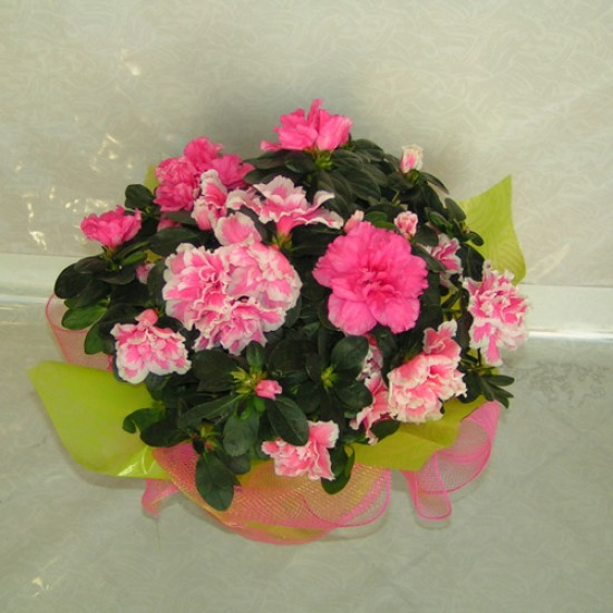 Send Flowers and Plants Patra 21
