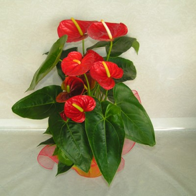 Send Flowers and Plants Patra 20